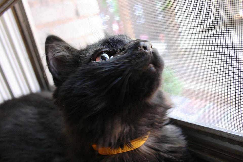 メインクーンの黒子猫(2009年)